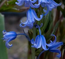 Bluebells. by Delboy10
