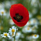 Single Poppy. by Delboy10