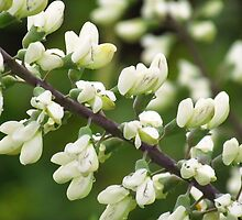 White Wild Indigo (Close-Up) by lorilee
