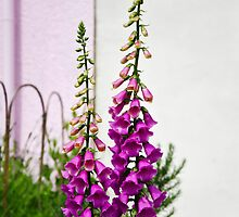 Foxgloves by Susie Peek