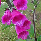Foxglove (Digitalis) by RedHillDigital