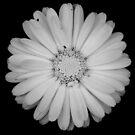 Calendula flower by Laura Melis