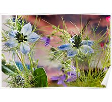 Love in a mist.............. Poster