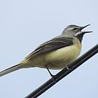 Grey Wagtail by TheWalkerTouch