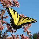 Swallowtail at Lunch by Lynn Gedeon