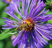 A bee on a pretty flower by jozi1