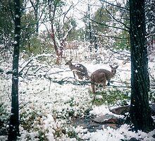 Wallabies in the snow by Linsey Walker