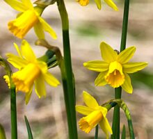 Clump of golden daffodils Sticker