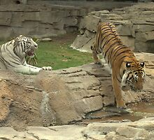 Bengal Tigers by Cat Cottrell