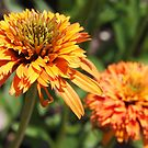 double orange echinacea by Linda  Makiej