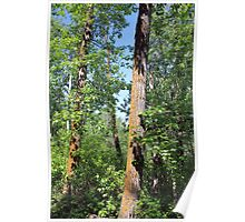 Leaning poplars Poster