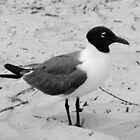 Little Gull by Cynthia48