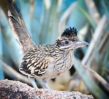 A Juvenile Greater Roadrunner  by Saija  Lehtonen