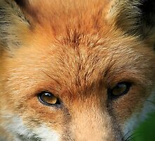 Red Fox  by chris2766