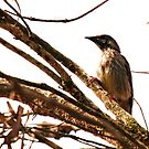 Wattlebird / Honey Eater by gogston