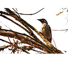 Wattlebird / Honey Eater Photographic Print