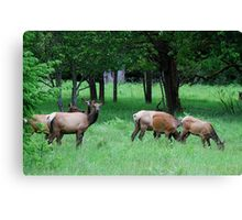 A Band of Cow Elk Canvas Print