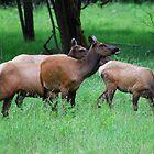 Grazing Elk by Tori Snow