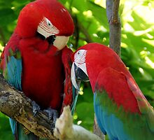 Scarlet macaws at the zoo by agenttomcat