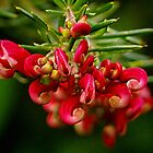 Rosemary Grevillea. by Bette Devine
