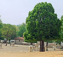 Lipizzaner horses in their place of origin Lipica - Slovenia by Arie Koene