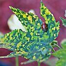 Ladybug on a Maple by Katagram