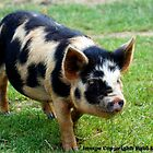 Piggy by Paul Howarth