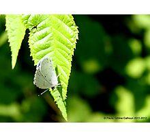 "Spring Azure Butterfly - 2012 - ""Peek-a-Blue!"" Photographic Print"