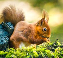 Northumbrian red squirrel by Sheerlight