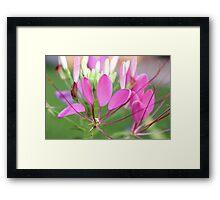 Spiderflower Framed Print