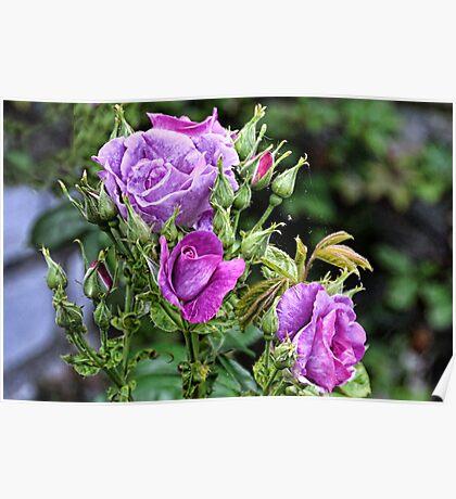 Purple Rose Bush Poster
