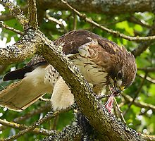 Red- Tailed Hawk  by Klaus Bohn