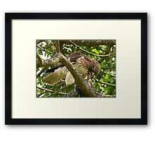 Red- Tailed Hawk  Framed Print
