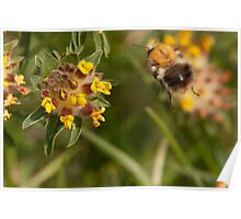 Common Carder Bee in flight Poster