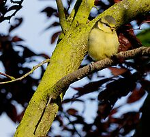 Blue tit fledgling by highhopes2