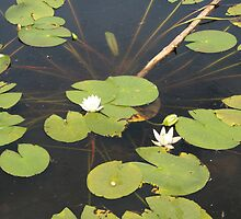 Lilies on lily pads on lake, Kristiansand by Grace Johnson