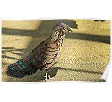 Peacock Pheasant Poster