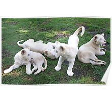 White Lion Cubs Playing Poster