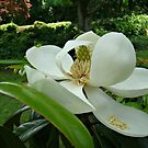 Beautiful Magnolia~ by virginian