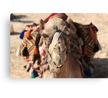 Close-up portrait of a camel, Negev, Israel Canvas Print
