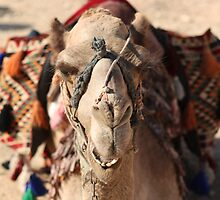 Close-up portrait of a camel, Negev, Israel by PhotoStock-Isra