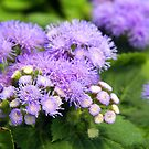 blue ageratum by Linda  Makiej