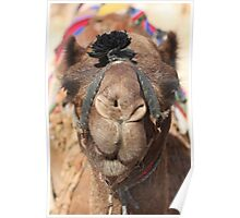Close-up portrait of a camel, Negev, Israel Poster