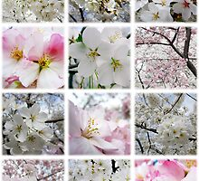 Cherry Blossoms by photonista
