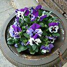 Beautiful Purple and White Pansies by Jane Neill-Hancock