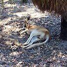 Kangaroo At Perth Zoo by robertemerald