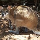 Wallaby by robertemerald