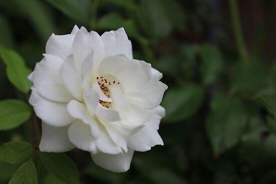 Garden Beauty by aprilann