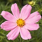 pink cosmos by Linda  Makiej