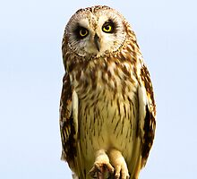 Short-eared Owl  by amontanaview